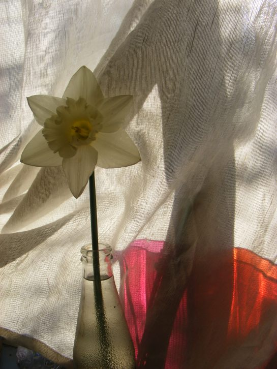 Mt Hood daffodil
