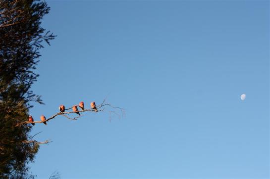 evening galahs (Large)